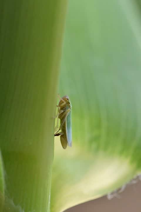 homóptera-37