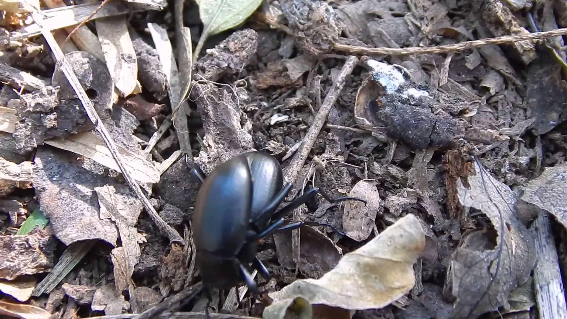 Escarabajo alimentación