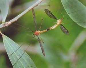 thysanoptera-13
