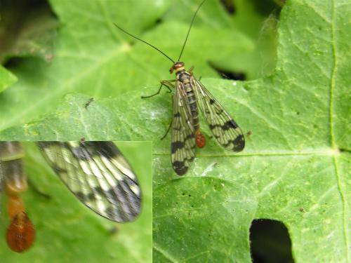 mecoptera-6