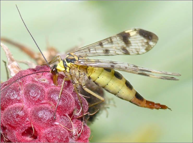 mecoptera-3