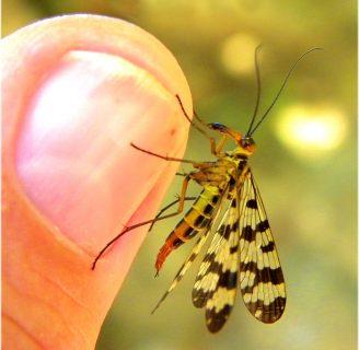 Mecoptera: Conoce las características y más de este orden de insectos.