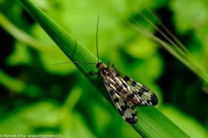 thysanoptera-19