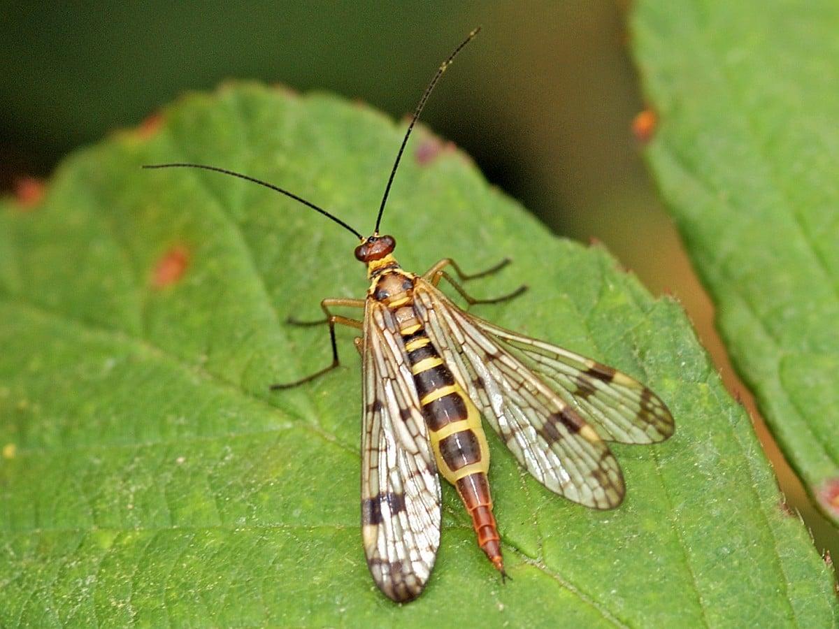 mecoptera-9