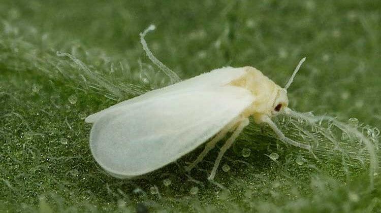 homóptera-13