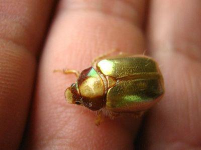 escarabajo dorado