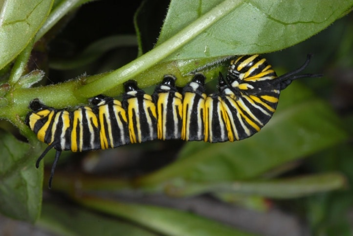 oruga monarca