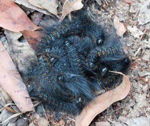 oruga-polilla-mariposa-3