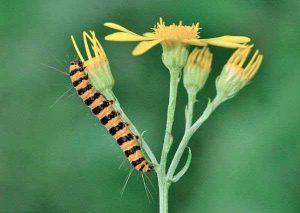 oruga-polilla-mariposa-9