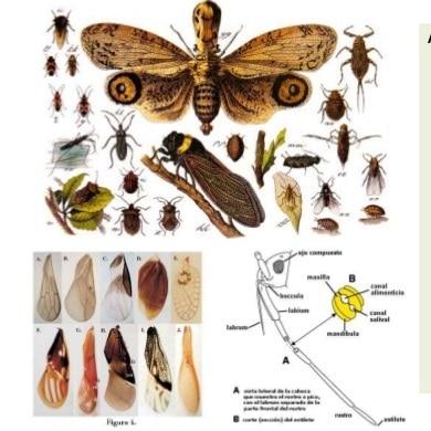 homóptera-10