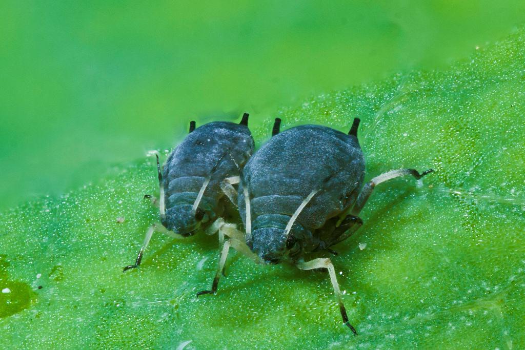homóptera-9