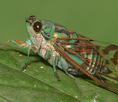 homóptera-19