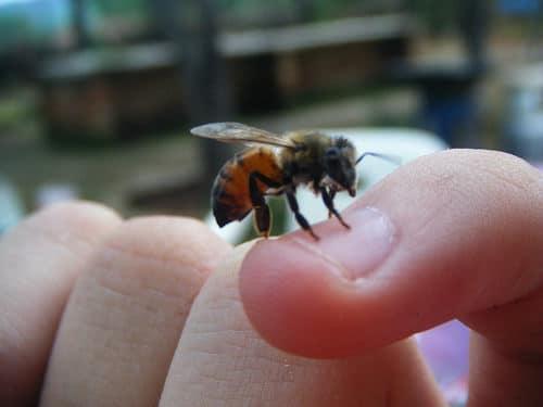 que-hacer-cuando-te-pica-una-abeja-1