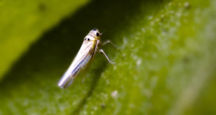 homóptera-35