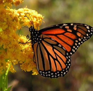 Santuario de la mariposa monarca: Todo lo que debes saber