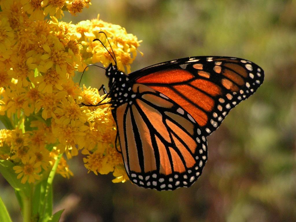 santuario-de-la-mariposa-monarca 4