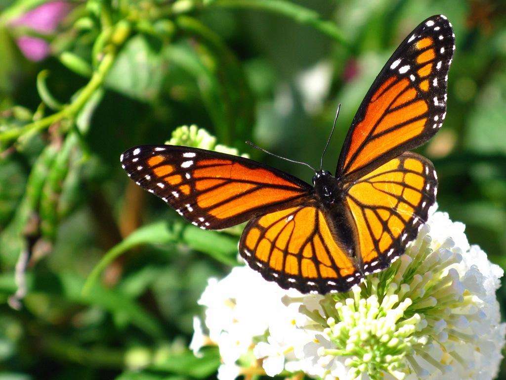 santuario-de-la-mariposa-monarca