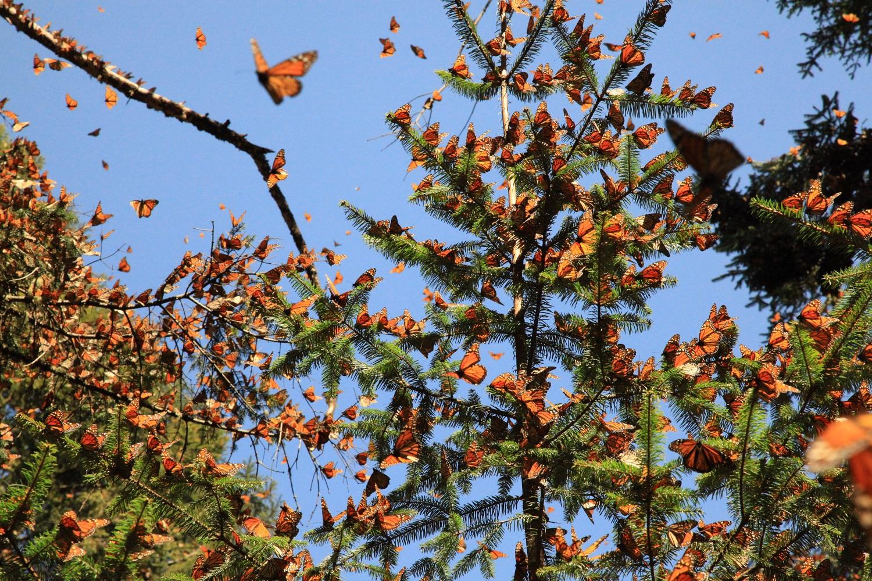 santuario-de-la-mariposa-monarca13