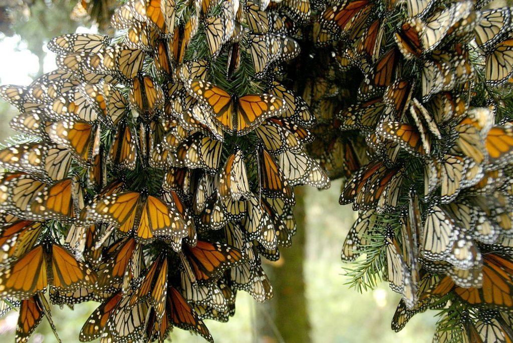 santuario-de-la-mariposa-monarca16