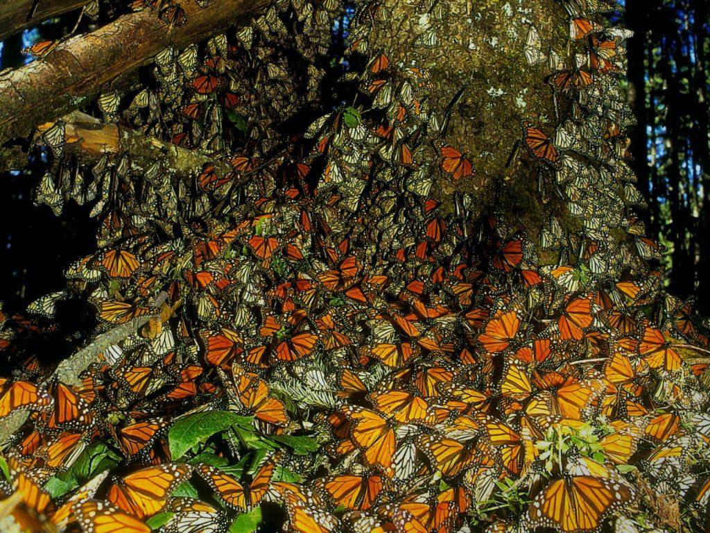 santuario-de-la-mariposa-monarca20