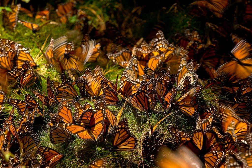 Monarchs, Sierra Chincua Sanctuaria Mariposa, Michoacán, Mexico