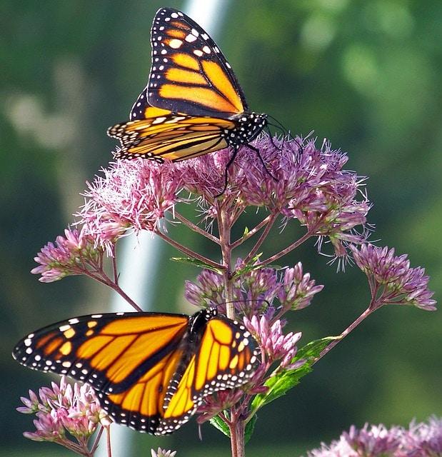 santuario-de-la-mariposa-monarca24