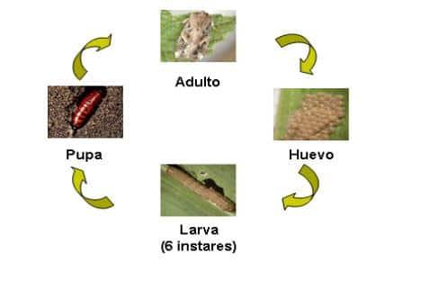 spodoptera-frugiperda-o-gusano-cogollero-1