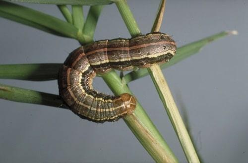 spodoptera-frugiperda-o-gusano-cogollero-12