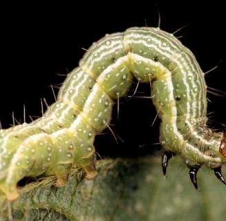 Spodoptera frugiperda o gusano cogollero: todo lo que debes saber.