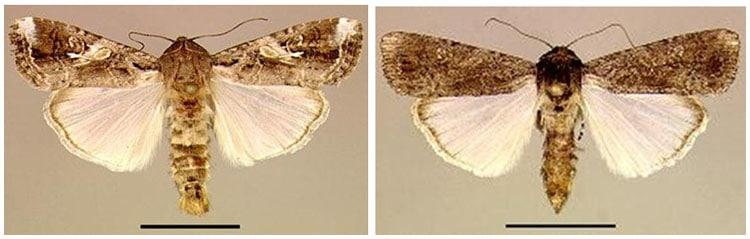 spodoptera-frugiperda-o-gusano-cogollero-14
