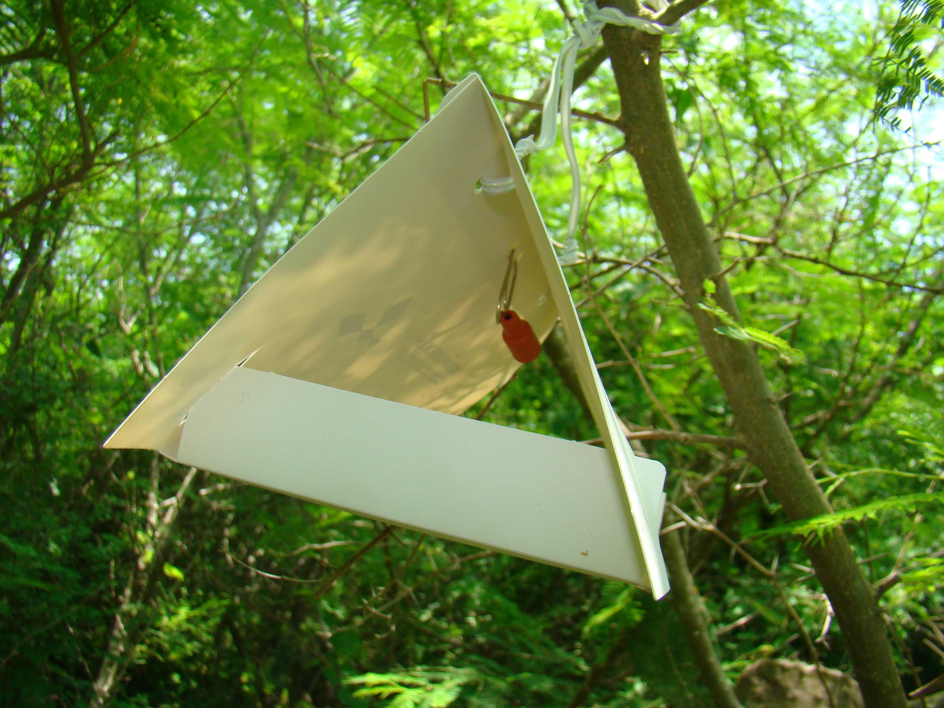 spodoptera-frugiperda-o-gusano-cogollero-15