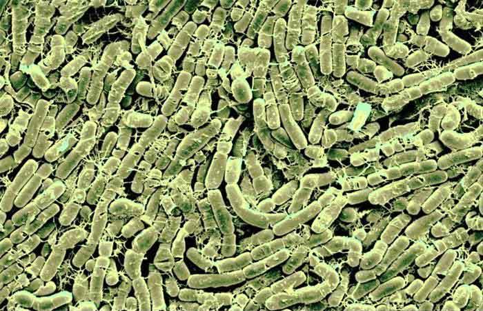 spodoptera-frugiperda-o-gusano-cogollero-16