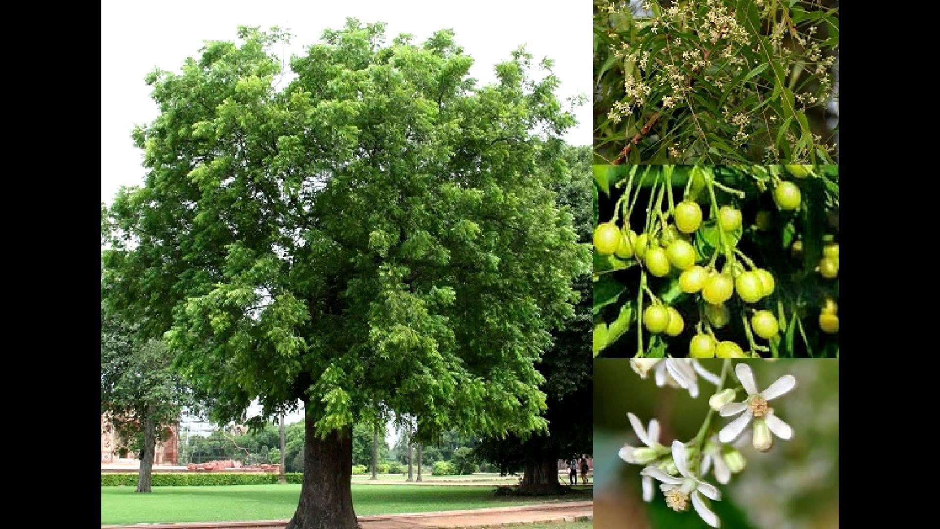 Las semillas del arbol de nim tienen grandes cantidades de azadirachtin, que resultan muy buen insecticida contra el spodoptera frugiperda o gusano cogollero.