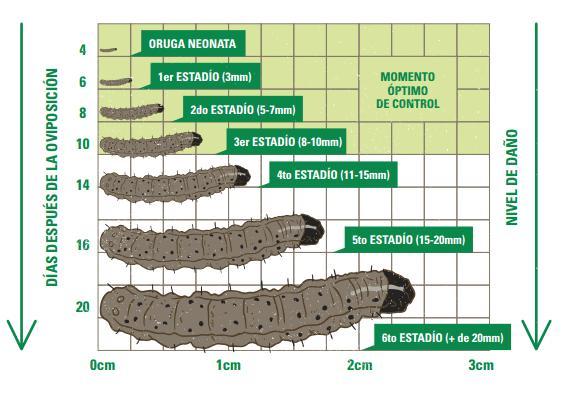 spodoptera-frugiperda-o-gusano-cogollero-3