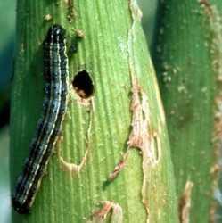 spodoptera-frugiperda-o-gusano-cogollero-6