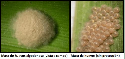 spodoptera-frugiperda-o-gusano-cogollero-7