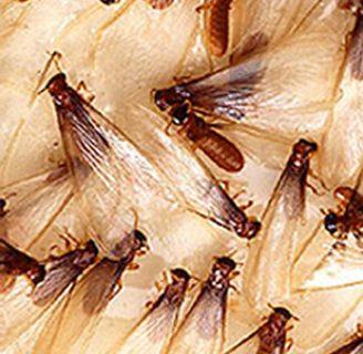 Termita: características, reproducción, hábitat y mucho más