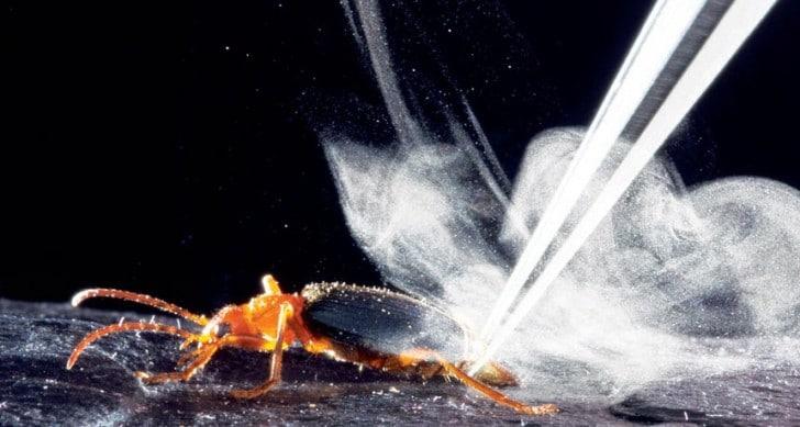escarabajo bombandero