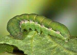 thysanoptera-21