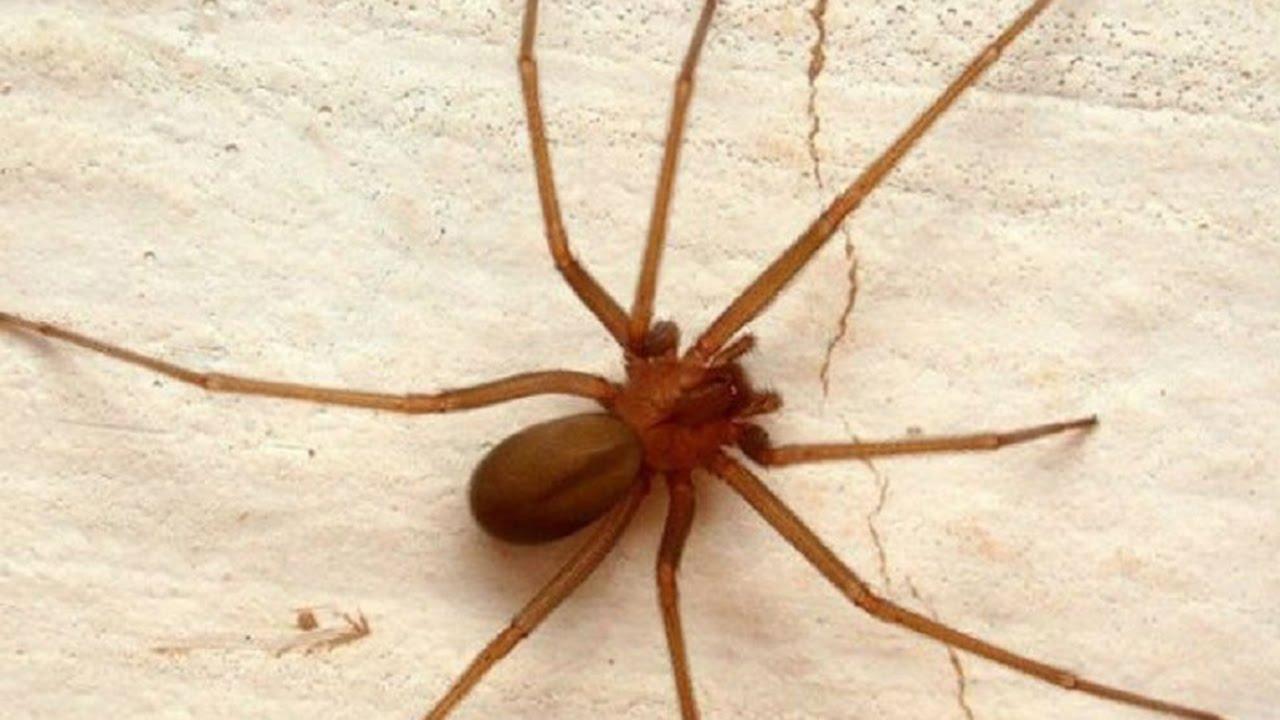 Arañas-venenosas12