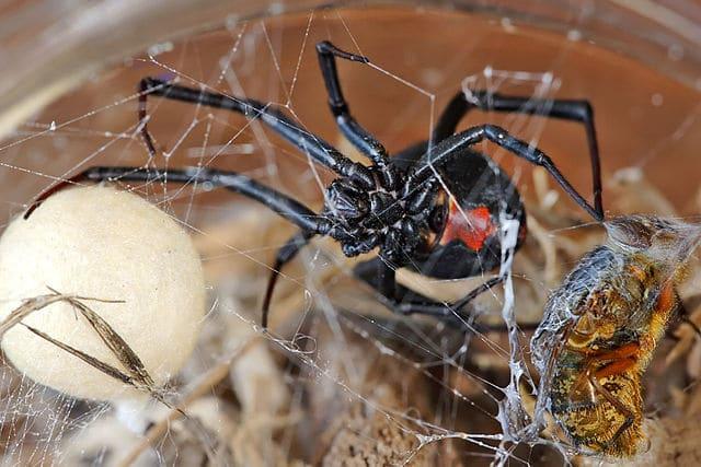 Arañas-venenosas17