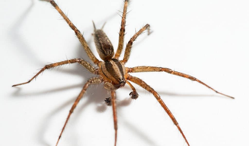 Arañas-venenosas18