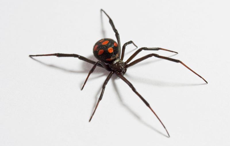 Arañas-venenosas2