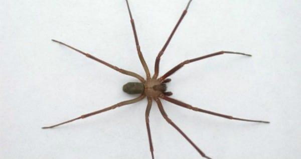 Arañas-venenosas25