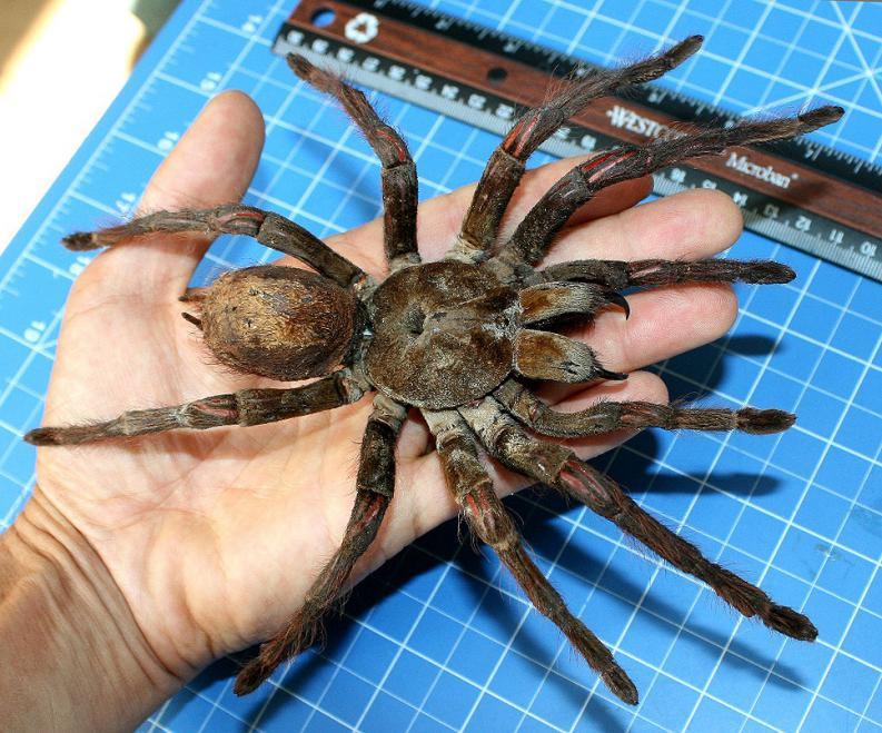 Arañas-venenosas26