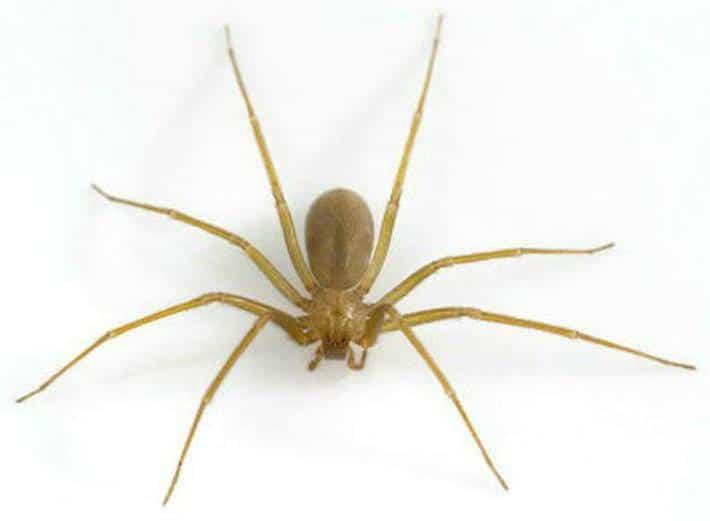 Arañas-venenosas28
