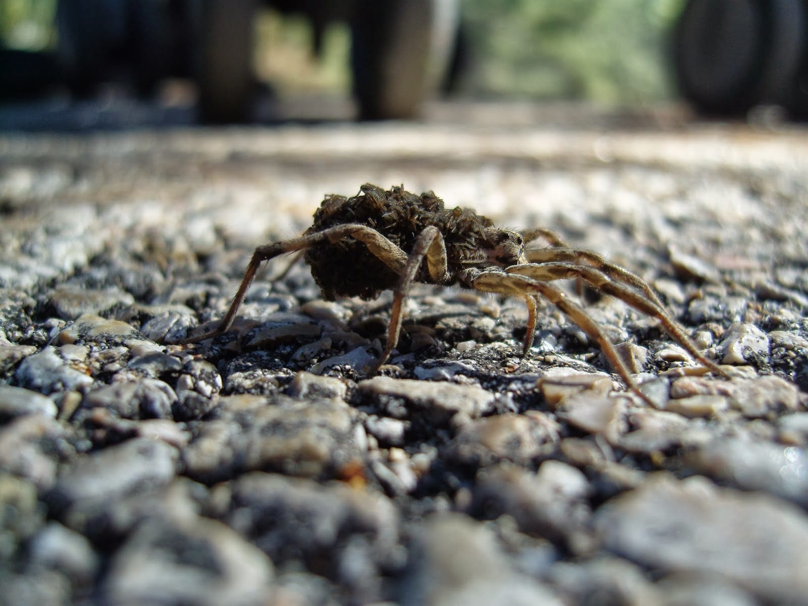 Arañas-venenosas5