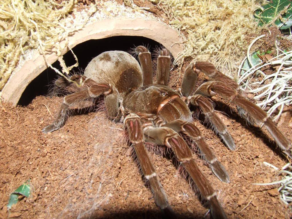 Arañas-venenosas6