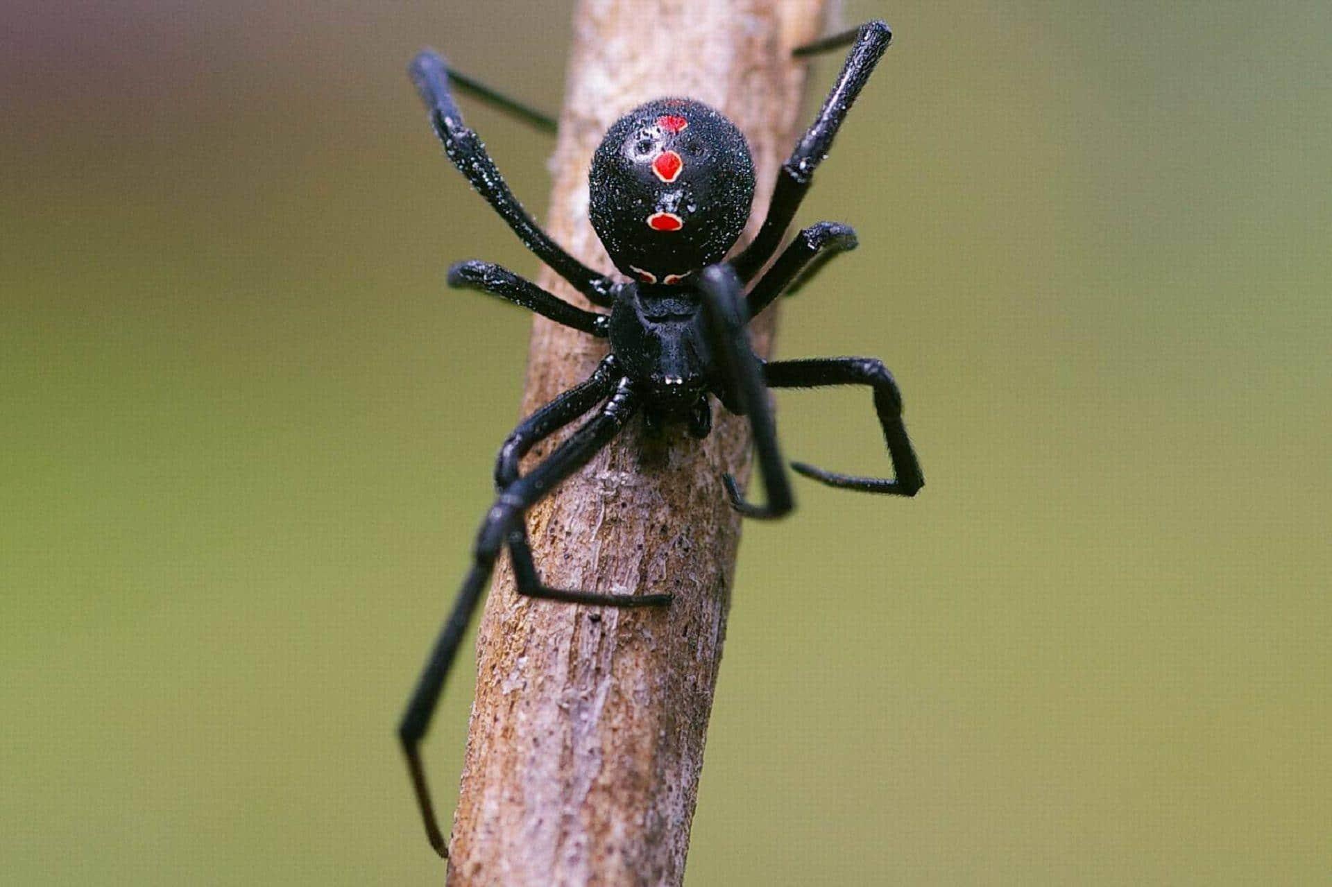 Arañas-venenosas7