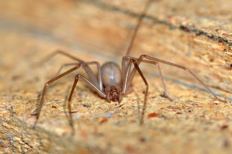 Arañas-venenosas9